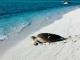 Tartaruga-verde rumo ao mar após desova