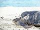 19/04/2015 - Tartaruga voltando ao mar depois da desova