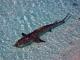 Indivíduo jovem de tubarão limão (Negaprion brevirostris)