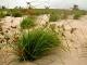 Moita do capim navalha (Cyperus ligularis), abundante em ambas as ilhas do atol