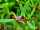 Sesuvium portulacastrum, planta resistente a salinidade