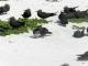 Viuvinha marrom (Anous stolidus)