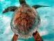 Tartaruga-de-pente juvenil