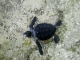 Filhotes de tartarugas marinhas.