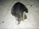 14/03/2015 - Tartaruga com lesão antiga