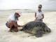 25/03/2015 - Exame em tartaruga marinha
