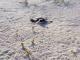 25/03/2015 - Filhote tartaruga-verde