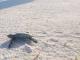 25/03/2015 - Filhote de Tartaruga-verde indo para o mar detalhe do rastro