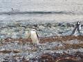 Pinguim-de-Magalhães.