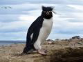 O visitante pinguim-de-Penacho.