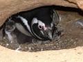 Pinguim-de-Magalhães com dois filhotes, um mais visível a esquerda e o outro mais escondido a direita.