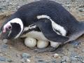 Pinguim-de-Magalhães com dois ovos.