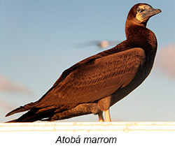Atobá Marrom