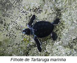 Filhote de Tartaruga marinha.