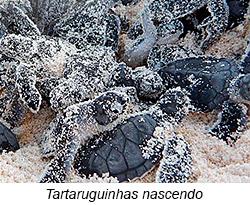 Tartaruguinhas nascendo